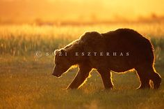 Alaskan Brown Bear by Suzi Eszterhas