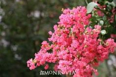 Monrovia's Petite Pinkie™ Crape Myrtle details and information. Learn more about Monrovia plants and best practices for best possible plant performance.