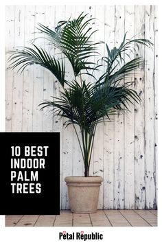 Indoor palm trees make excellent additions to our modern living spaces. Not many house plants are quite as dramatic or elevate a room or hallway quite like a towering Kentia Palm, Chinese Fan, or Ponytail Palm. Here we've rounded up 10 of our absolute favorite indoor palm trees and we've included expert care instructions and key considerations for each so you can find your perfect match. Indoor Ferns, Indoor Palm Trees, Outdoor Plants, House Plant Care, House Plants, House Plant Delivery, Kentia Palm, Plant Guide, Money Trees