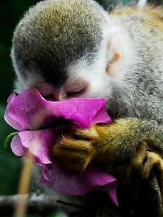 Taking time to smell the flowers: a Mono Titi Squirrel Monkey, Costa Rica