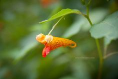 A tiny bloom on a Jewelweed plant in Asheville, North Carolina. Jewelweed is a wonderful treat for migrating hummingbirds. It has also been used for centuries as a natural treatment for poison oak and poison ivy. See this Instagram photo by @ashevillephotography