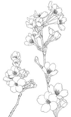 Flowers Illustration Tattoo Cherry Blossoms Ideas For 2019 Botanical Drawings, Botanical Art, Botanical Illustration, Line Drawing, Painting & Drawing, Floral Drawing, Drawing Flowers, Tattoo Flowers, Flower Design Drawing