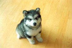 Denali, you are loved and missed! Someday soon we will need another baby husky around here!