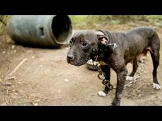 We can all do our share to help prevent dog fighting by reporting suspicious activities!      Donate to your local shelter!