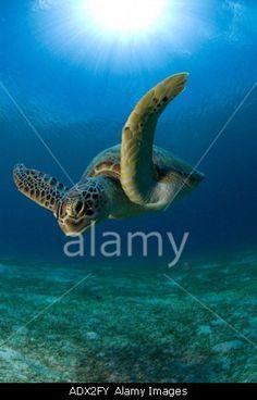 Green Sea turtle Chelonia mydas Pacific Philippines      © WaterFrame / Alamy