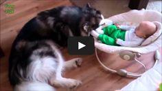 [►] VIDEO: (Videos graciosos de perros protegiendo a bebes 2014) → http://diversion.club/videos-graciosos-de-perros-protegiendo-a-bebes-2014/ → Videos de Risa, Videos Chistosos, Videos Graciosos