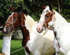 Beautiful Pinto Creole Horses