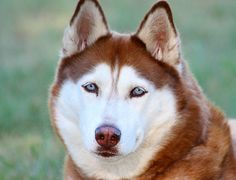 Learn some interesting facts about the Siberian Husky. Some information is from the AKC, as well as some personal information. I would highly recommend the Siberian Husky for a medium size dog breed.