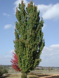 Image of 'acer x freemanii armstrong'