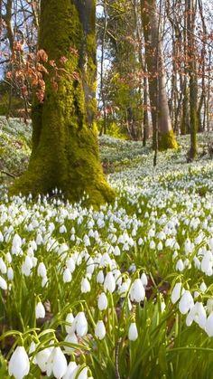 720x1280 Обои подснежники, первоцвет, деревья, лес, зелень, природа, весна, отдых