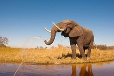 African elephant information and facts for kids &adults. With pictures & video. In the African Animals series. Wild Life, African Elephant Facts, African Animals, Elephant Information, Kruger National Park, National Parks, National Geographic, Paises Da Africa, South Africa