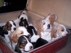 Baby bassets ready to go!!