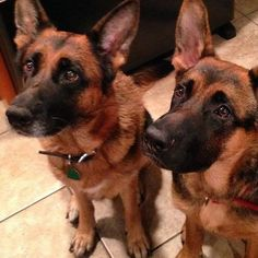 """""""Two"""" cute! GSD puppies"""