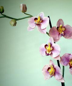 CP Phalaenopsus Orchide