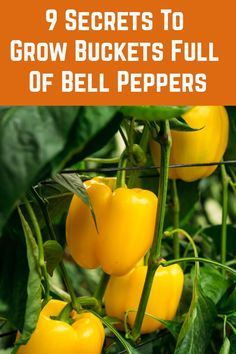 There are a few tips, tricks and secrets to get bigger and sweeter harvests from your pepper plants. Here's my top nine after years of growing peppers. Organic Gardening, Gardening Tips, Gardening Shoes, Container Gardening, Gardening Apron, Indoor Gardening, Outdoor Gardens, Growing Bell Peppers, Pepper Plants