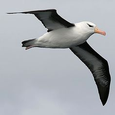 Thalassarche melanophrys (Black-browed albatross)