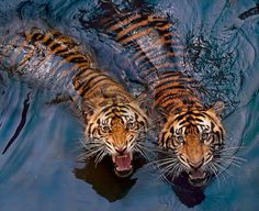 Two unwelcoming tigers. - Imgur
