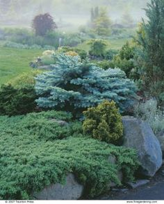 conifer garden...Ground-hugging conifers are a perfect partner for more upright varieties. The low, sprawling Juniperus procumbens 'Nana' fronts a Chamaecyparis obtusa 'Nana Lutea', at lower right, and a steely-blue Picea pungens 'Montgomery', center.