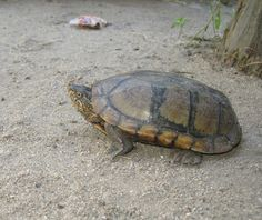Oaxaca Mud Turtle (Kinosternon oaxacae) is a species of mud turtle in the Kinosternidae family. It is endemic to Mexico. Both the common name and the scientific name derive from Oaxaca, a Mexican state.