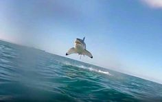 Great White..appears to be flying haha amazing <<<< SHARKS FLYING!!!! RUN!!!!!!!!! GET TO THE BUNKER!!!!!!