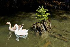 Im Teich, wo sich auch ein paar Fische tummeln, fühlen sich die Enten und Gänse besonders wohl. Spannend zum Beobachten, wie sie im kühlen Nass herumschwimmen, rund um den Teich watscheln und miteinander schnattern. Animals, Pony Rides, Petting Zoo, Water Pond, Pisces, Couple, Animales, Animaux, Animal