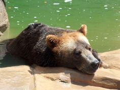 Grizzly Bear- NC Zoo, Asheboro