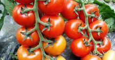 Használd a szódabikarbóna erejét a paradicsomnál is! Organic Soil, Organic Gardening, Tomato Garden, Vegetable Garden, Natural Pesticides, Seed Catalogs, Tree Seeds, Big Garden, Heirloom Tomatoes