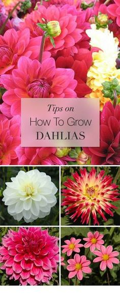 Tips on how to grow Dahlias