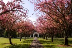 Pink tree blossoms in front of the Stayton-Jordan Covered Bridge in #Stayton Oregon