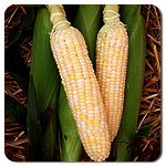 Organic Luscious F1 Hybrid Corn