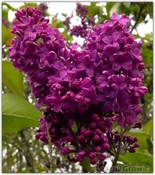 78 best spring shrubs bushes images on pinterest flowering the common or french lilac a hardy spring blooming shrub that smells like heaven mightylinksfo