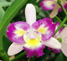Sunset Valley Orchids - Lc. Tropical Song 'Calypso' BM/JOGA