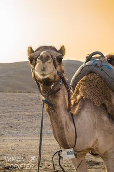 Camelus, Israel Travel, Israel Trip, Animal Paintings, Animal Kingdom, Trip Planning, Traveling By Yourself, Cute Animals, Animals Beautiful