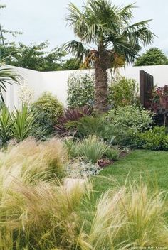 Palm tree and grasses. The hemp palm (Trachycarpus fortunei), tremendous proof against chilly (as much as / ° C), sits majestically in a nook; the angel hair (Stipa tenuissima) brings lightness and softness[. Green Landscape, Landscape Design, Garden Art, Garden Plants, Stipa, Lawn Edging, Gras, Tropical Garden, Pool Designs