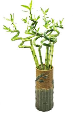 10 Houseplants That Need (Almost) Zero Sunlight - House Fur Indoor Plants Low Light, Best Indoor Plants, Indoor House Plants, Indoor Gardening, Lucky Bamboo Plants, Bamboo House Plant, Indoor Bamboo Plant, Bamboo Plant Care, Plants Grown In Water