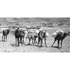 01/05/1920 EN M`TALZA. SERVICIO DE TRANSPORTES. CONVOY DE CAMELLOS TRANSPORTANDO LAS TIENDAS PARA LOS NUEVOS CAMPAMENTOS QUE SE OCUPARON. FOTOS LAZARO: Descarga y compra fotografías históricas en | abcfoto.abc.es