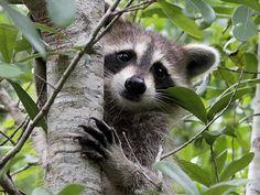 "Raccoon ""In a nearby park. Martin County, Florida."" Photograph: J Kearman"