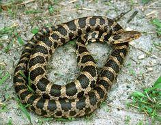 Iowa Fox Snake