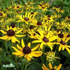 Rudbeckia Little Goldstar Flowers, Plants, Flora, Planters, Royal Icing Flowers, Flower, Blossoms, Bloemen, Floral