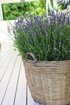 Basket/lavender