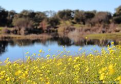 Jaramagos.  #naturaleza #extremadura #flores