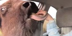 A seemingly adorable, funny viral video of a bison, or American buffalo, licking a woman's arm has sparked a debate over whether the bison and other animals living at the same farm are being treated properly.   The video, which 28-year-old Seattle ...