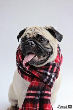 Pawsh Magazine & Studio | | Pug wearing scarf, fashionhound