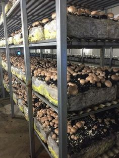 Best 26+ Mushroom Farming Ideas for Profitable Business affordable https://pistoncars.com/best-26-mushroom-farming-ideas-profitable-business-15940