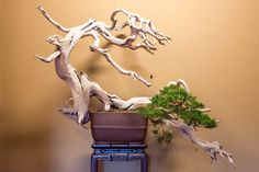 Bonsai displays at Hoshun-in | Bonsai Tonight