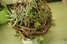 Akebia vine birdcage and succulents