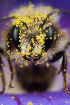 Miner Bee eye macro zoOm   by Alliec2007 2010-05 via flickr 4654843359