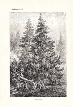 1892  Norway Spruce  Print  Christmas Tree Lithograph SOLD