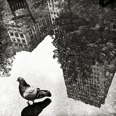 walking pigeon & buildings reflection on water | black and white photography