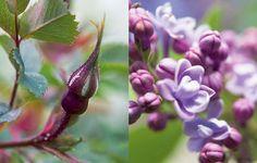 Blommande buskar